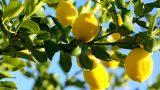 lemon-trees1